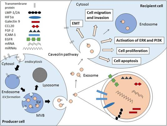 Do exosomes play a pathogenic role in epstein barr virus ebv internal vesicles or multivesicular bodies mvbs are formed by the inward budding of cellular compartments the cargo is packaged into intraluminal vesicle ccuart Choice Image