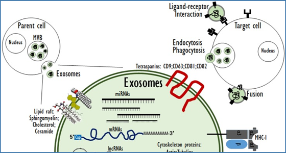 The Potential Theragnostic Application Of Exosomes In Diverse Biomedical Fields