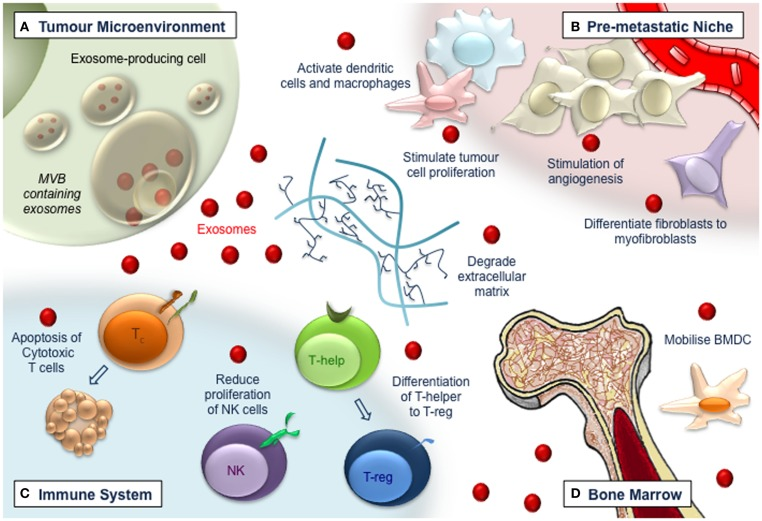 Functions And Therapeutic Roles Of Exosomes In Cancer