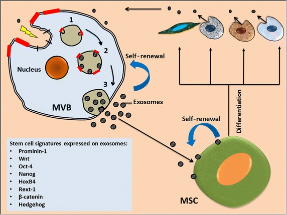 Stem Cell Derived Exosomes Roles In Stromal Remodeling