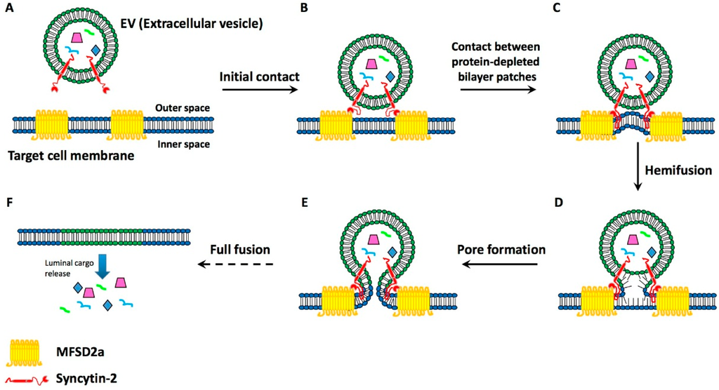 Binding And Fusion Of Extracellular Vesicles To The Plasma