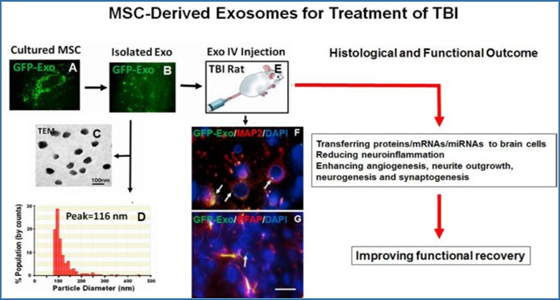 Emerging Potential Of Exosomes For Treatment Of Traumatic