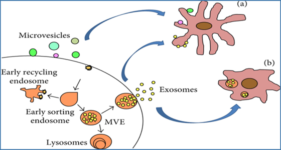 exosome as nanoscale vesicles Exosome theranostics: biology and translational medicine exosomes are nanoscale extracellular lipid whereas exosomes are vesicles of endocytic origin.