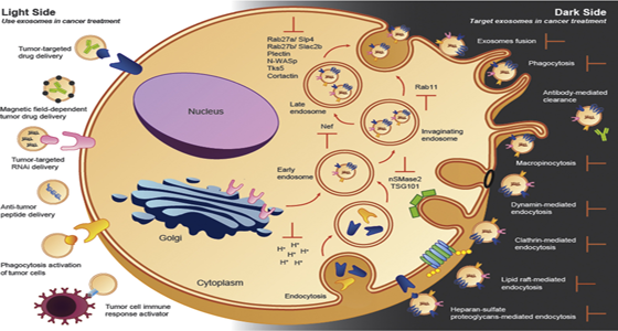 Exosomes In Cancer Use Them Or Target Them Exosome Rna
